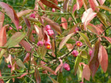 100 Spindle Hedging 2ft Tall, Euonymus Europaeus,Beautiful Pink Autumn Berries