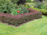 3 Purple Barberry Hedging Plants 20-30cm / Berberis Thunbergii Atropurpureum