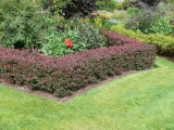 20 Purple Barberry Hedging Plants 20-30cm / Berberis Thunbergii Atropurpureum