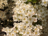 1 Hawthorn Hedging Plant, 3-4ft Extra Large Hedge, Native Hawthorne, Quickthorn