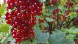 5 'Jonkheer van tets' Redcurrant / Ribes Rubrum Jonkheer van Tets' Multi-stemmed
