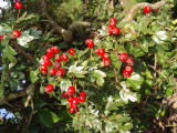 50 Hawthorn 2-3ft Hedging,Branched 2 Year Old Plants,Whitethorn,Quickthorn