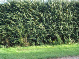 25 Hawthorn 2-3ft Hedging, Branched 2 Year Old Plants, Whitethorn, Quickthorn