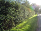 3 Hawthorn Hedging Plants, 3-4ft Hedges, Native Hawthorne, Quickthorn,Mayflower