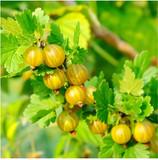 3 Yellow Gooseberry Plant / Uva Crispa Hinnonmakii' 3-5 Branches, Ready To Fruit