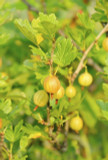 1 Yellow Gooseberry Plant / Uva Crispa Hinnonmakii' 3-5 Branches, Ready To Fruit