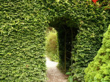 20 Green Beech Hedging Plants, Fagus Sylvatica Trees, 30-50cm,Copper in Winter