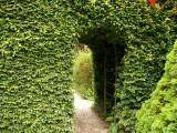 5 Green Beech Hedging Plants, Fagus Sylvatica Trees, 30-50cm,Copper in Winter