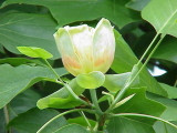 3 Tulip Tree Plants/Liriodendron Tulipifera, 1-2ft Tall, Uniquely Shaped Leaves