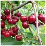 Morello Cherry Tree 3-4 ft Self-Fertile,Ready to Fruit.Great For Jam & Pies