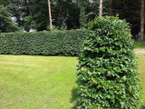 30 Green Beech 5-6ft  Instant Hedging Trees,Strong 4 Year Old Feathered Plants