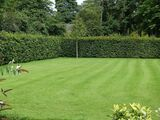 10 Green Beech Hedging Plants 2 Year Old, 1-2 ft Grade 1  Hedge Trees 40-60cm