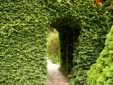 5 Green Beech Hedging Plants 2 Year Old, 1-2 ft Grade 1  Hedge Trees 40-60cm