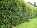 50 Green Beech Hedging Plants 2 Year Old, 1-2 ft Grade 1  Hedge Trees 40-60cm