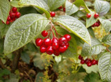 1 Franchet's Cotoneaster 2-3ft ,Semi-Evergreen Cotoneaster Franchetii Hedging