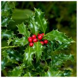 English Holly 'Alaska' / Ilex Aquifolium 'Alaska' 20-30cm In 11cm Pot