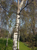 100 Silver Birch Trees 40-60cm,Quick Growing Screening,Betula Pendula Hedging