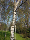 100 Silver Birch Native Trees 3-4ft Hedges Betula Pendula,2 Yr Old & Feathered