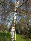 5  Silver Birch Native Trees 3-4ft Hedges Betula Pendula,2 Yr Old & Feathered