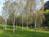 5 Silver Birch Trees 40-60cm,Quick Growing Screening,Betula Pendula Hedging