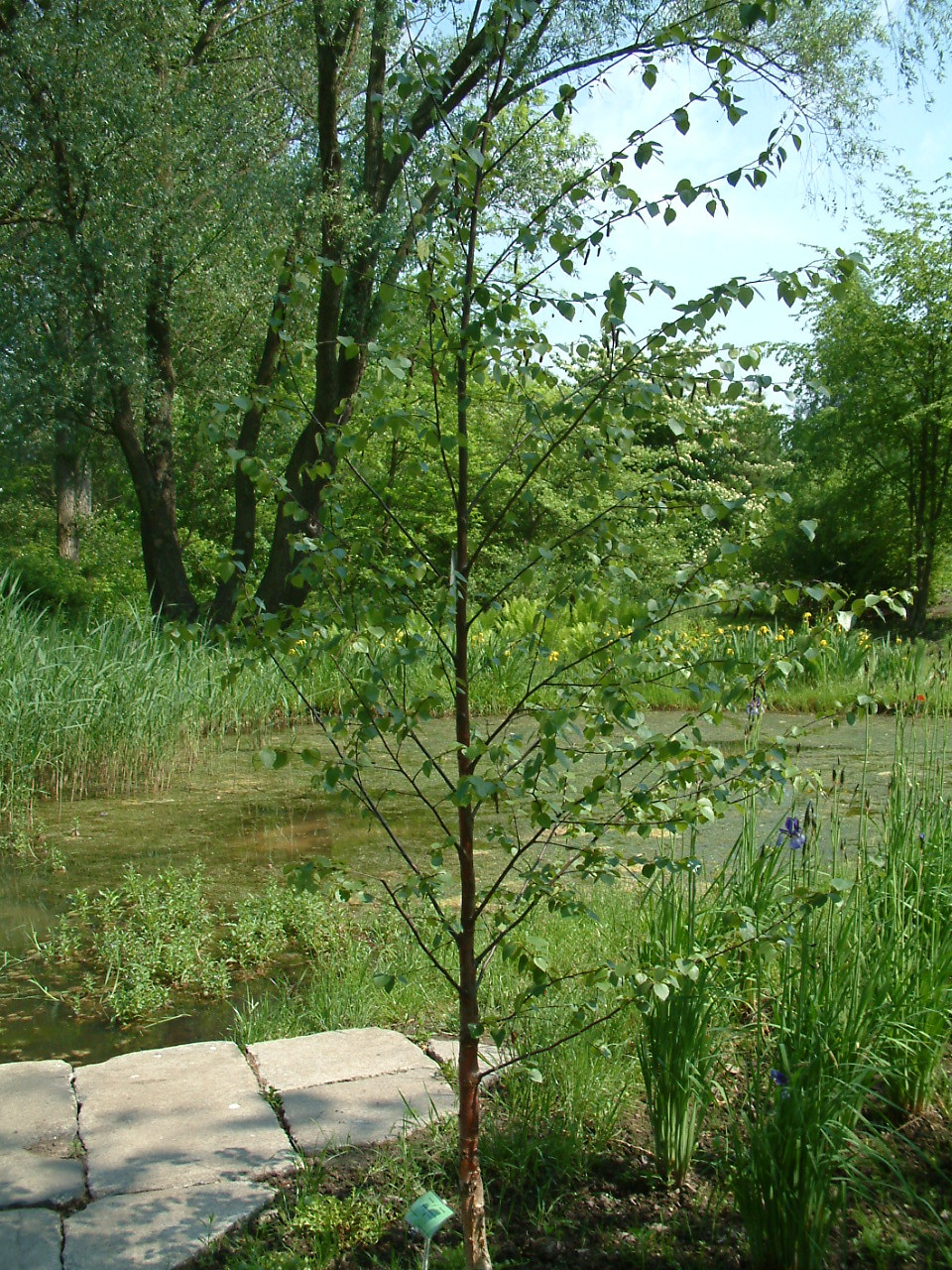 3-4ft Tall Betula pubescens 2 Years old 1 Downy Birch Tree
