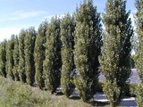 10 Lombardy Poplar / Populus Nigra Italica Trees 2-3 FT Quick Native Wind Break