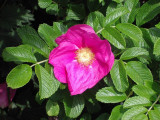 1 Red Wild Rose Hedging 30-50cm Plants,Rosa Rugosa Rubra,Flowers For 6mth