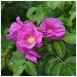 3 Common Wild Rose Hedging 30-50cm Plants,Keep Burglars Out! Rosa rugosa