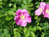20 Common Wild Rose Hedging 30-50cm Plants,Keep Burglars Out! Rosa rugosa