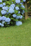 Hydrangea macrophylla 'Nikko Blue' 20-30cm In 2L Pot, Lovely Blue Flowers