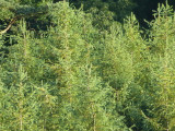 100 Japanese Larch Trees,2ft  Larix Plants, Different Colours Every Season
