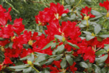 Rhododendron 'Red Jack' 30-40cm Tall In 5L Pot, Stunning Ruby-Red Flowers