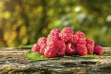 10 'Malling Promise' Red Raspberry Bushes / Rubus Idaeus 'Malling Promise'