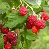 3 'Malling Promise' Red Raspberry Bushes / Cane, Rubus Idaeus 'Malling Promise'