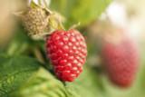 5 'Malling Promise' Red Raspberry Bushes / Cane, Rubus Idaeus 'Malling Promise'