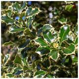 3 Holly Plant Ilex Aquifolium 'Silver Queen' 20cm in 2L Pots Excellent Hedging