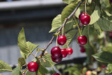 50 Wild Cherry Trees 40-60cm Stunning Blossom, Edible Cherries & Wild Bird Food