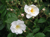 'Bobby James'/ Bobbie James Rambling Rose, Heavy Clusters Of Small Scented, Semi-Double Flowers