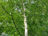 4 Silver Birch 3-4ft Stunning  Mature Specimen Trees, Betula Pendula in a 2L Pot