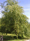 Silver Birch Native Trees 90-120cm 2 yr old Hedges Betula in 2lt pots
