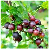 1 Jostaberry Ribes uva Crispa, Self-Fertile, Multistemmed Well Branched 60-80cm