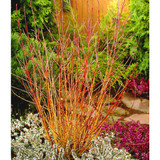 3 'Midwinter Fire' Dogwood / Cornus Sanguinea in 2L Pots, Stunning Bark