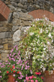 4 Mixed Jasmine Plants, Beautiful Selection Of Jasminum For Any Garden!