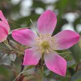 20 Rubrifolia Roses 2ft Rosa Glauca Rubrifolia Hedge Plants,Red Leafed Rosa