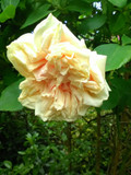 'Gloire de Dijon' Subtle Fragranced Climbing Rose Bush,Buff Yellow, Old Favourite