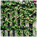 'Gloire de Dijon' Subtle Fragranced Climbing Rose Bush,Buff Yellow, Old Favourite