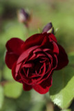 'Guinee' Fragrant Climbing Rose,Dark Red Fully Double Velvety Blooms