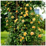 'Maigold' Fragrant Hardy Climbing Rose Bush,Beautiful Golden Coppery Orange Blooms