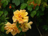 'Maigold' Fragrant Hardy Climbing Rose Bush,Beautiful Golden Coppery Orange Blooms