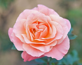 'Fragrant Delight' Very Fragrant Floribunda Rose,Produces Masses Of Red Blooms